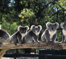 Today is Wild Koala Day!